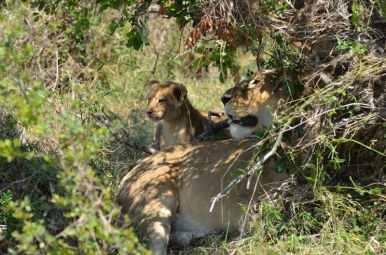 Lion cubs with their mother - Masai Mara, Kenya