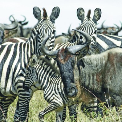 Wildebeest & zebra, Masai Mara, Kenya (Acacia Africa)