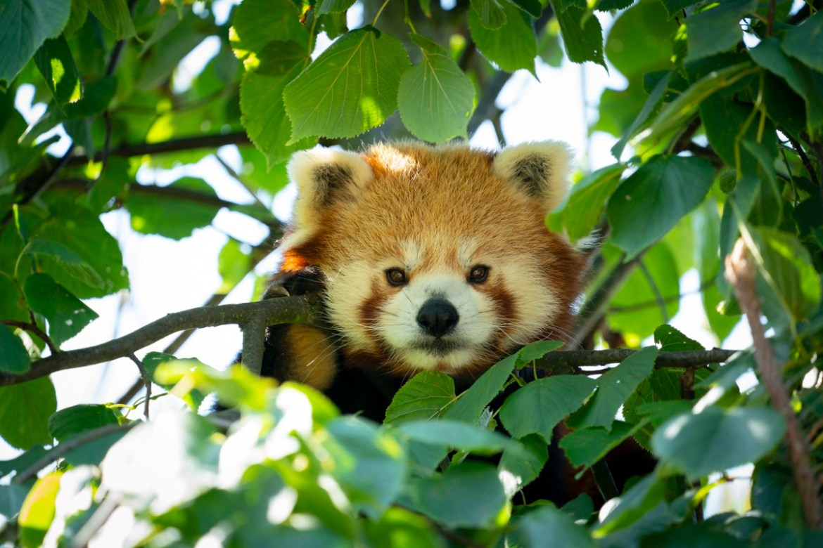 Red Panda - Marwell Zoo