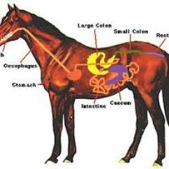 Teeth Diagram Labeled Data Flow For Dummies Horse Anatomy Pictures-think Like A Horse-rick Gore Horsemanship
