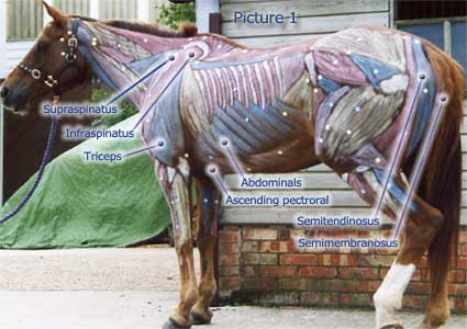 horse anatomy diagram muscles thermistor relay wiring pictures think like a rick gore horsemanship