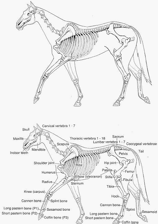 horse skeleton diagram labeled club car ds battery wiring anatomy pictures think like a rick gore horsemanship