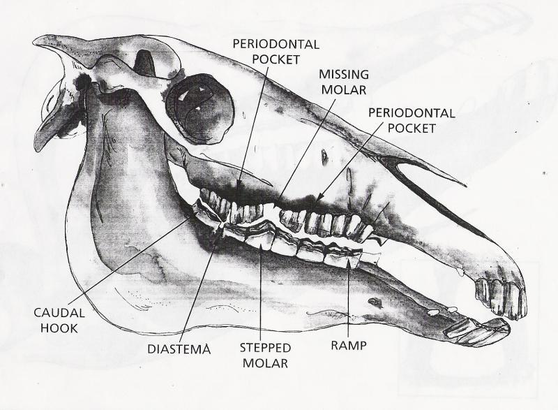 horse gi diagram iphone headphones mic wiring anatomy pictures think like a rick gore horsemanship