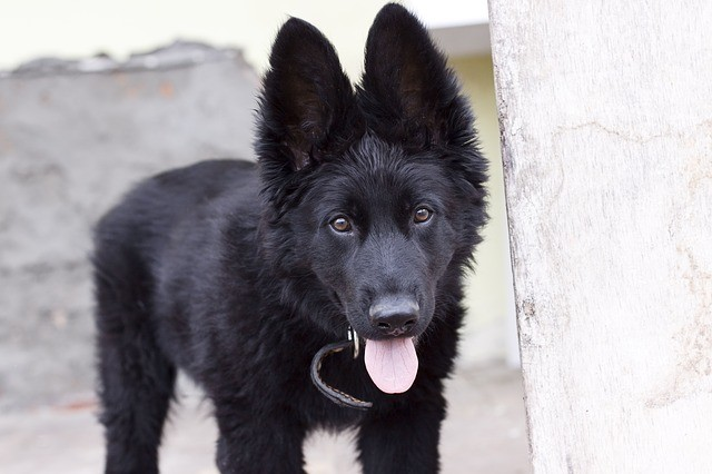 the same breed as German shepherd