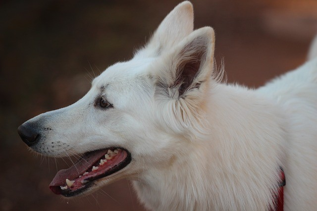 The white German shepherds are ideal watch dogs