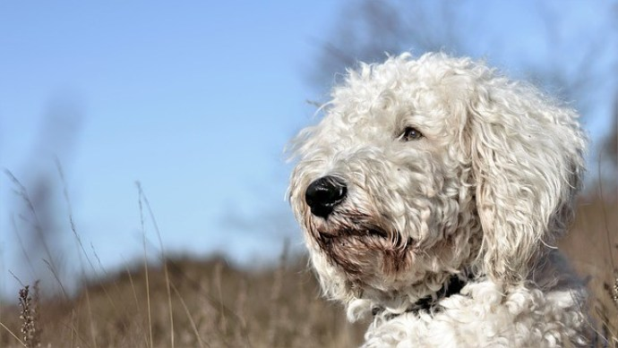 facts about the Goldendoodle