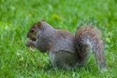 greenwich - squirrel 001