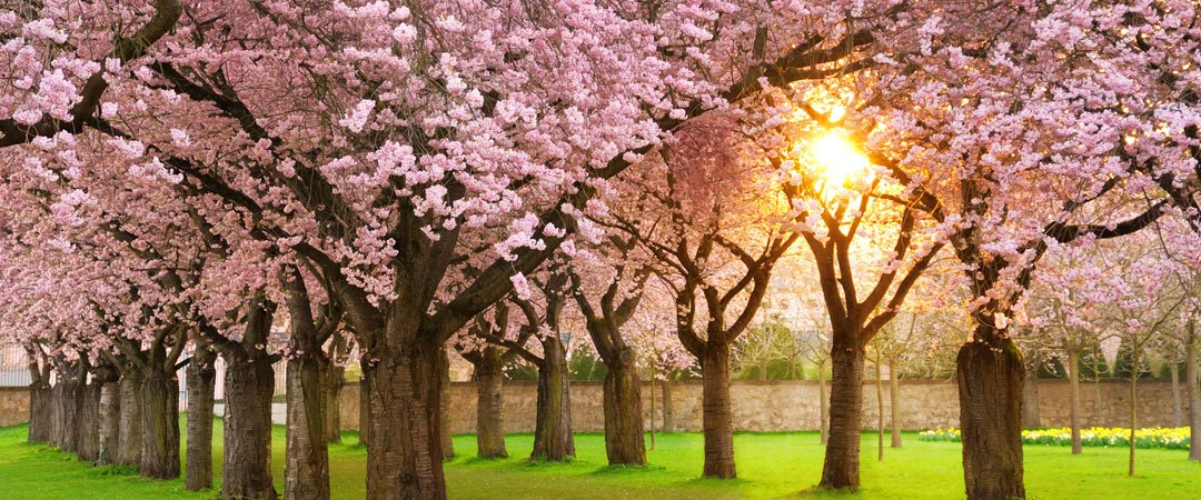 Cherry tree blossoms in the spring