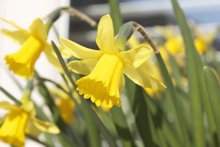 Close up of daffodils in a garden