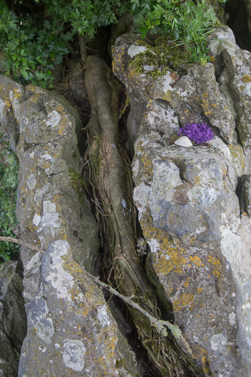 Fairy tree growing out of a rock - Grange Stone Circle II