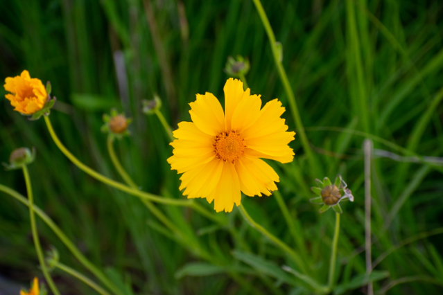 Coreopsis sp._