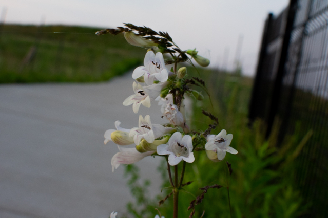 Penstemon digitalis, Foxglove Beardtongue
