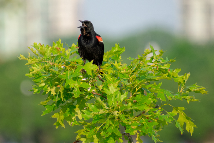 Singing Red-Winged Black Bird