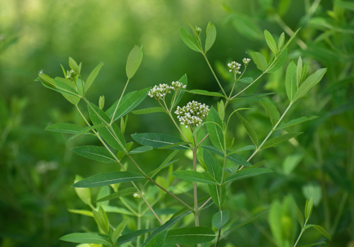 Dogbane, Apocynum cannabinum, native