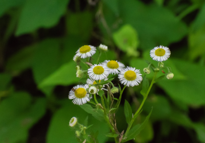 Fleabane, Erigeron sp. native