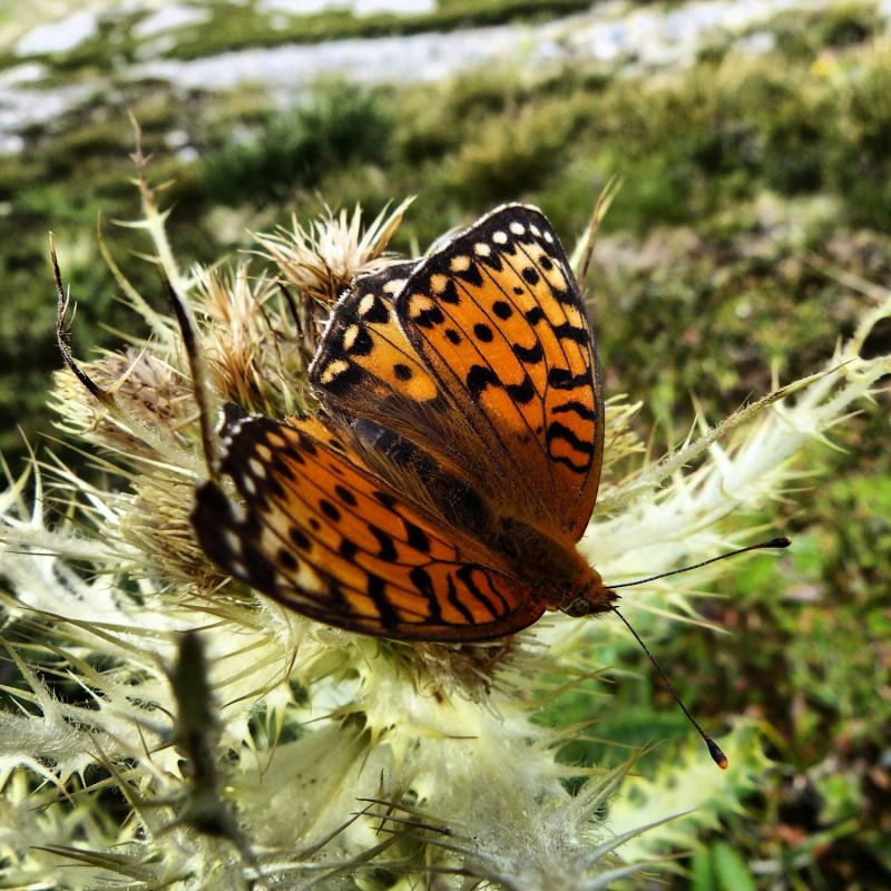 Butterfly in Vanoise National Park, France