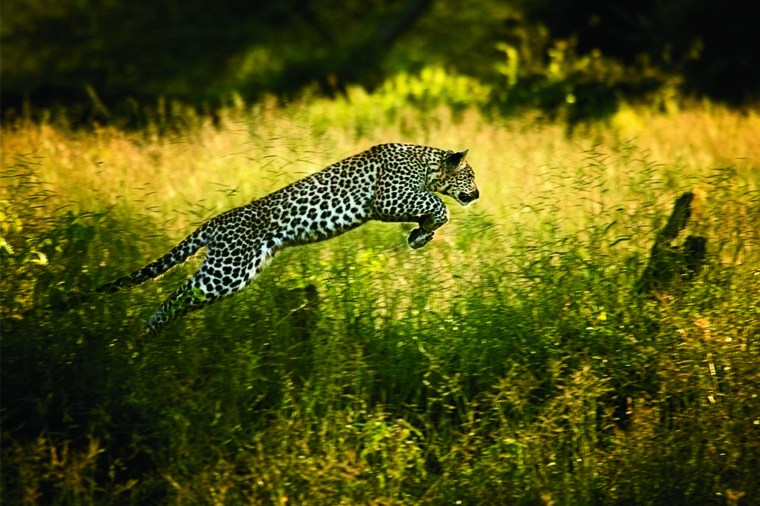 "In a hunting game with her mother, a young leopard leaps through tall grass. Photo credit: BEVERLY JOUBERT/National Geographic ""Women of Vision"" exhibit"
