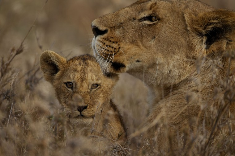 A lion and her cub. Photo credit: © Daniel Stone and Spencer Millsap/National Geographic