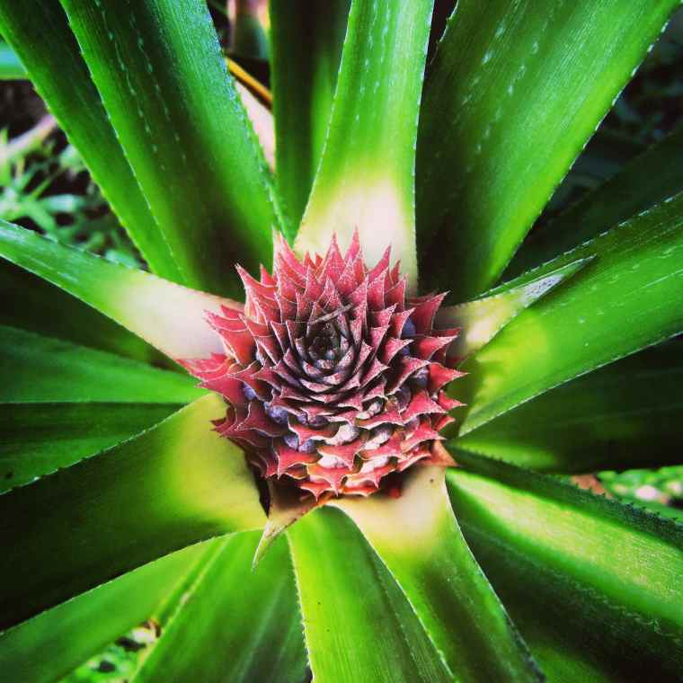 Birth of a pineapple