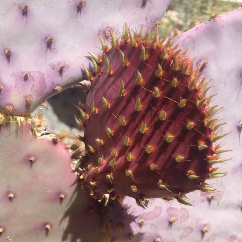 Desert Cactus buds