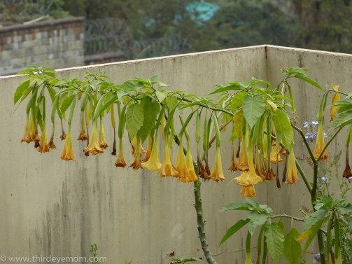 Addis flower