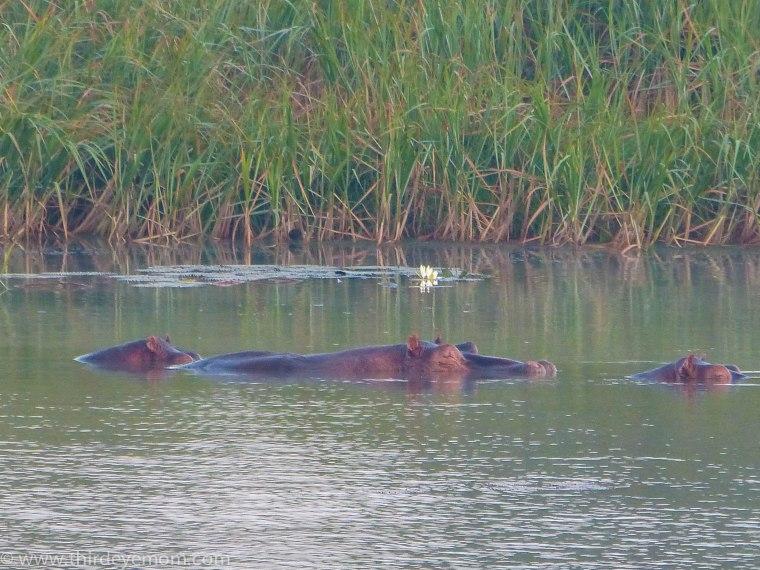 Hippos on Lake Tana