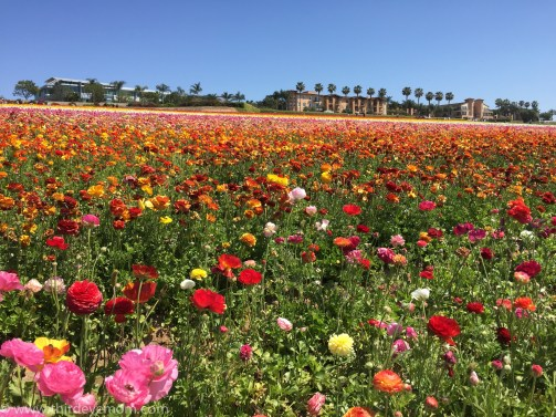 The Flower Fields San Diego