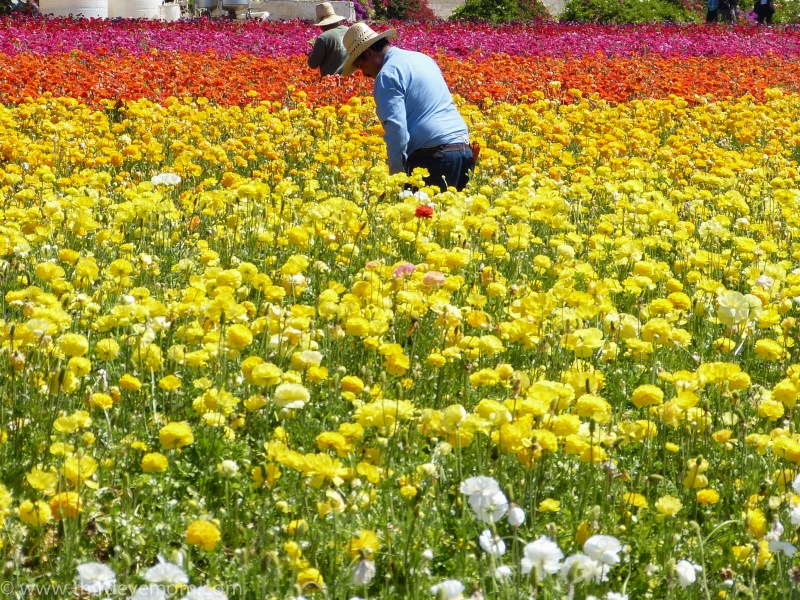 The Flower Fields San Diego CA