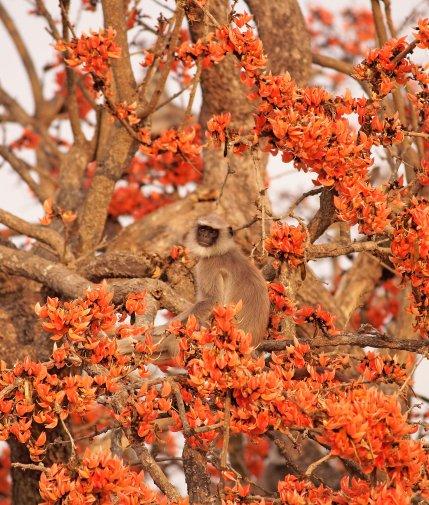 Grey Langur feeds on a Palash tree close to the Mangala school(Nithila Baskaran)