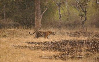 A fully pregnant Tigress at dusk, in Bandipur Tiger Reserve (Nithila Baskaran)