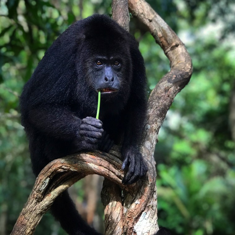 Black Howler Monkey, Community Baboon Sanctuary Belize