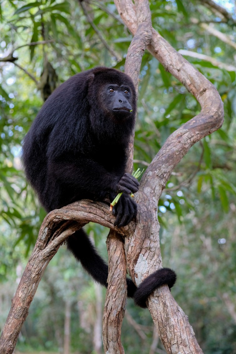 Yucatan Black Howler Monkey, Community Baboon Sanctuary Belize