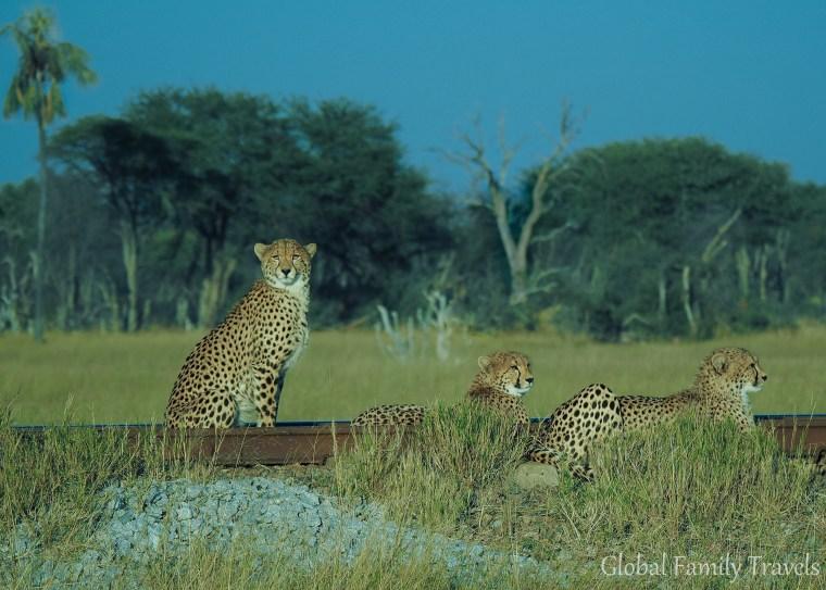 Cheetah. Photo credit: Global Family Travels