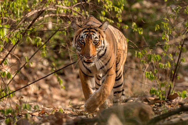 Natural Habitat Adventures Tiger