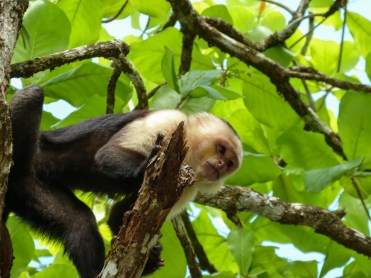 White-faced or Capuchin monkey