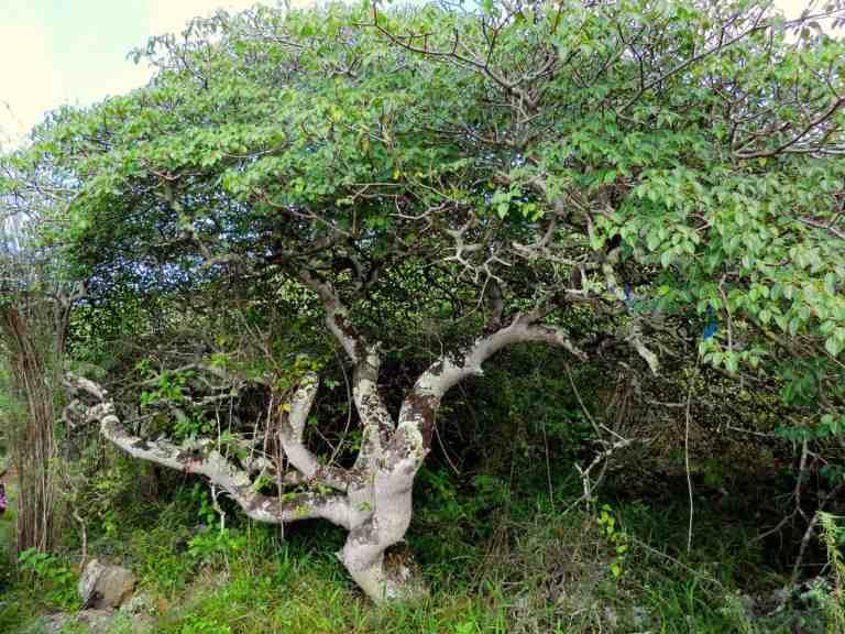 grown palo santo tree in peru