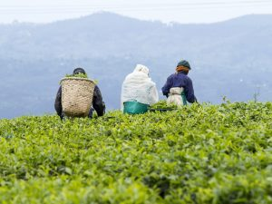 THIRST's Human Rights Impact Assessment of the global tea sector