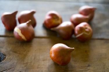 チューリップの球根は掘り上げ必要?その理由と方法