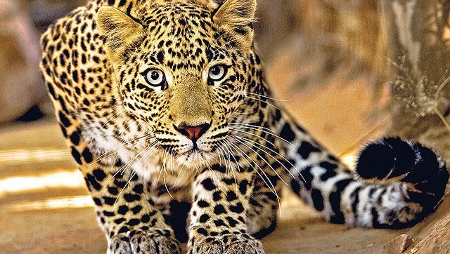 Spotting of Leopard in Tirumala Triggers Panic