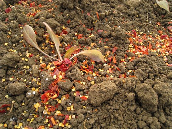 chilli-slug-deterent