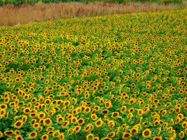 Sunflowers, Beynac-et-Cazenac, things to do with kids dordogne france