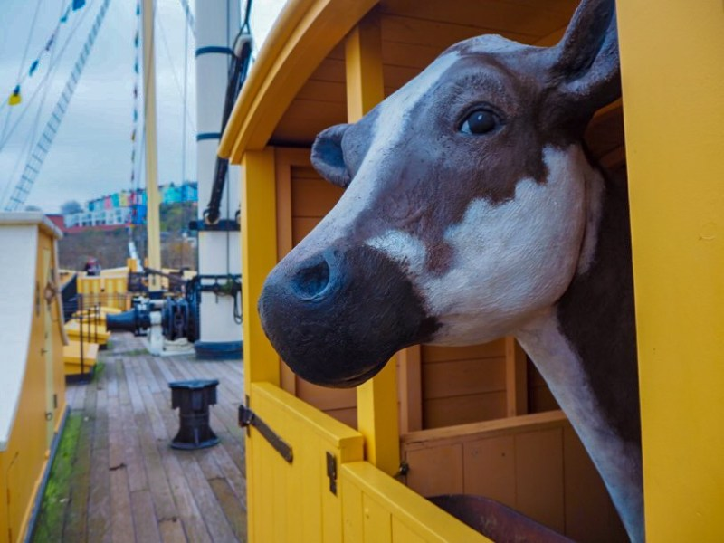 Cow onboard Brunel's SS Great Britain