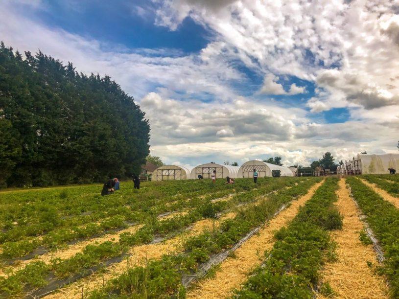 St Aldams nursery - strawberry picking - pucklechurch near Bristol