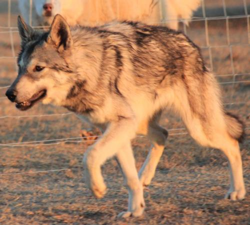 Young wolf Ila at the SA sanctuary I support