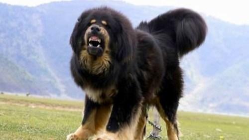 Tibetan-Mastiff4