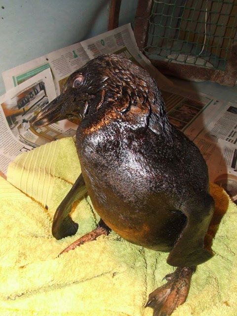 This is one of the little Penguins that was washed up on a beach due to the oil leaking from the Kiani Satu. Please be on the lookout for seabirds and penguins on the Southern Cape Coastline. If distressed birds are found, keep them warm and as dry as possible and contact Carol Walton at SAPREC on 082 364 3382