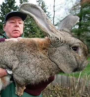 giant-bunny-from-german-b365kk0305