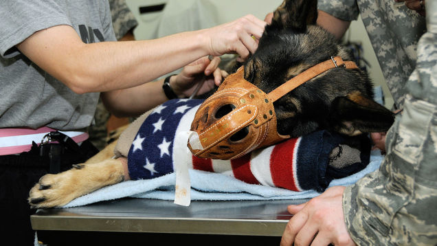 A war dog donating blood to another war dog