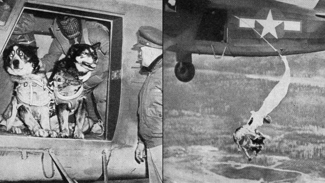These are US Army paratrooper rescue dogs being trained in 1944.