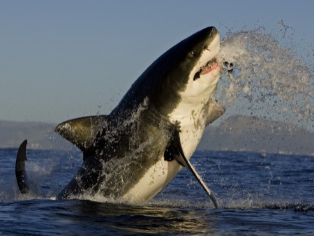 Great white shark breaches on decoy at Seal Island, False Bay, South Africa.